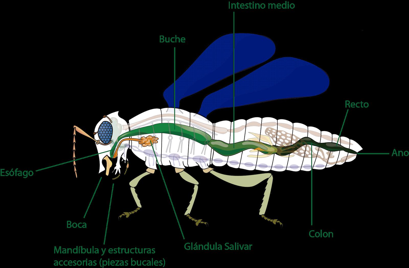 Atractivo Diagrama De La Anatomía De Insectos Regalo - Anatomía de ...