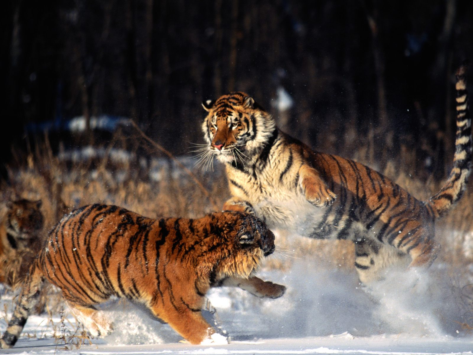 http://1.bp.blogspot.com/-NXlyuSVkzD4/TgnYwto7H7I/AAAAAAAAI1k/aJIaxV4MsU0/s1600/The-best-top-desktop-tiger-wallpapers-hd-tiger-wallpaper-29.jpg