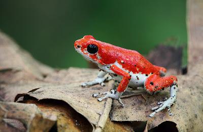 12 fotografías macro de ranas en su hábitat natural (frogs)