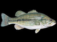 Largemouth Bass Fish Pictures
