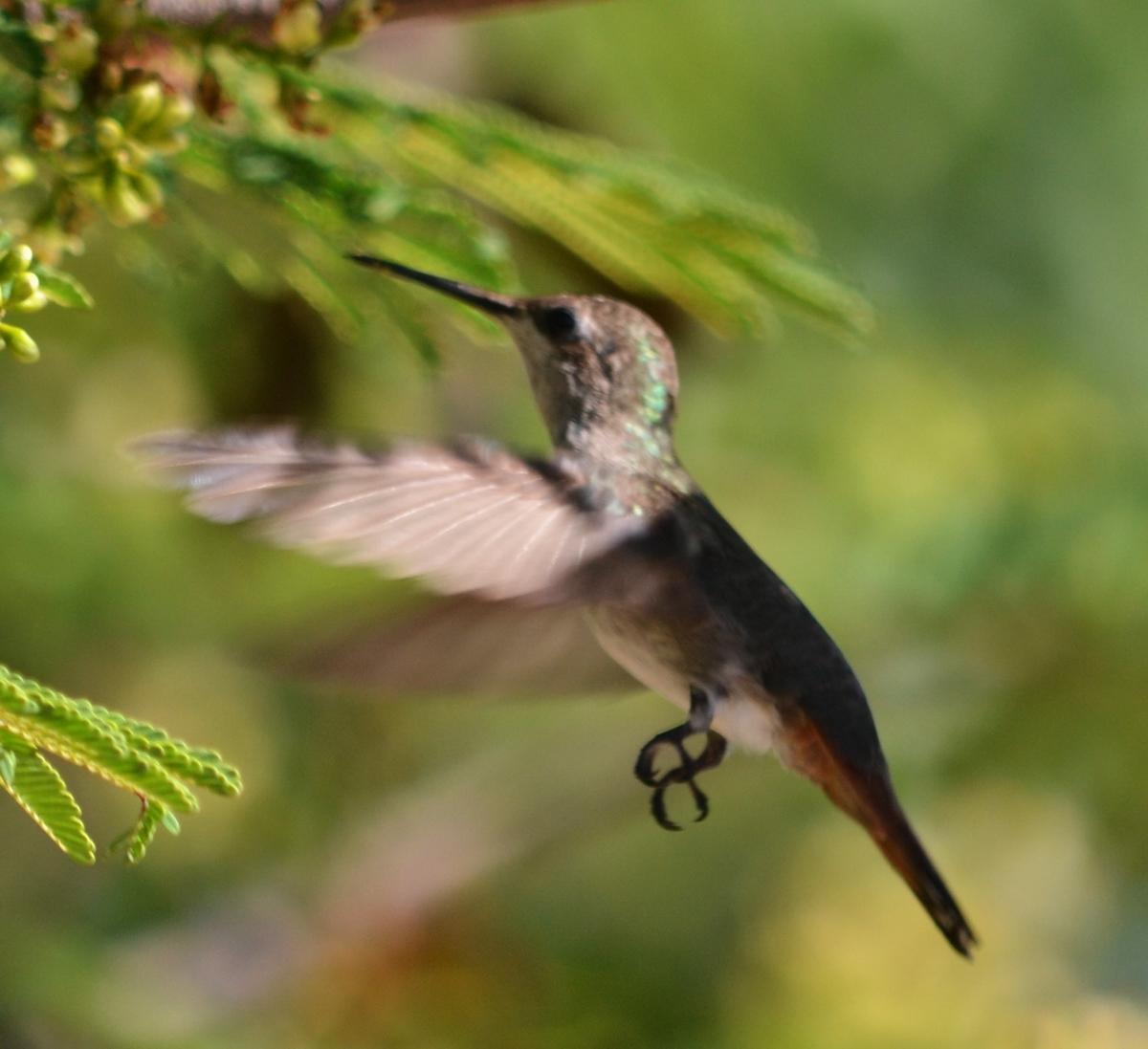 Dornasol Feeding In The Dividivi Tree