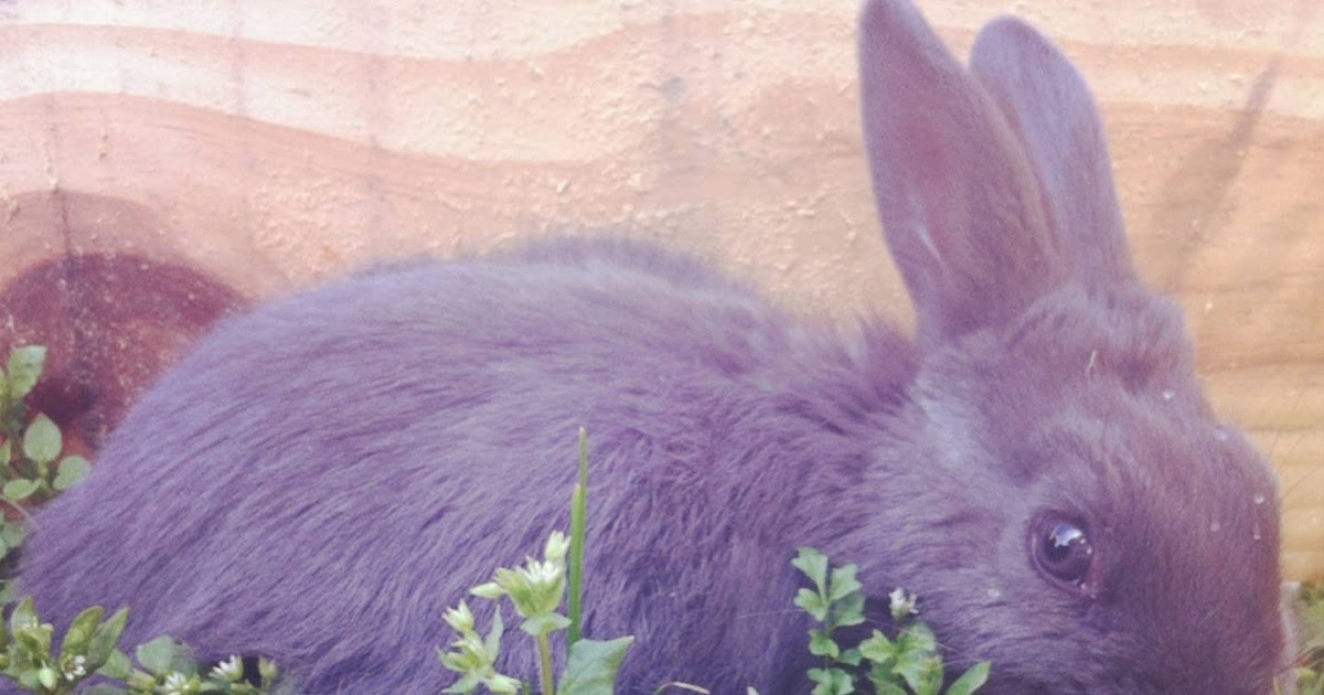 Haven Homestead: Why we love American blue rabbits: An ...