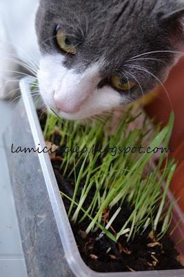 La micia cleo erba gatta ed erba gattaia non for Erba per gatti