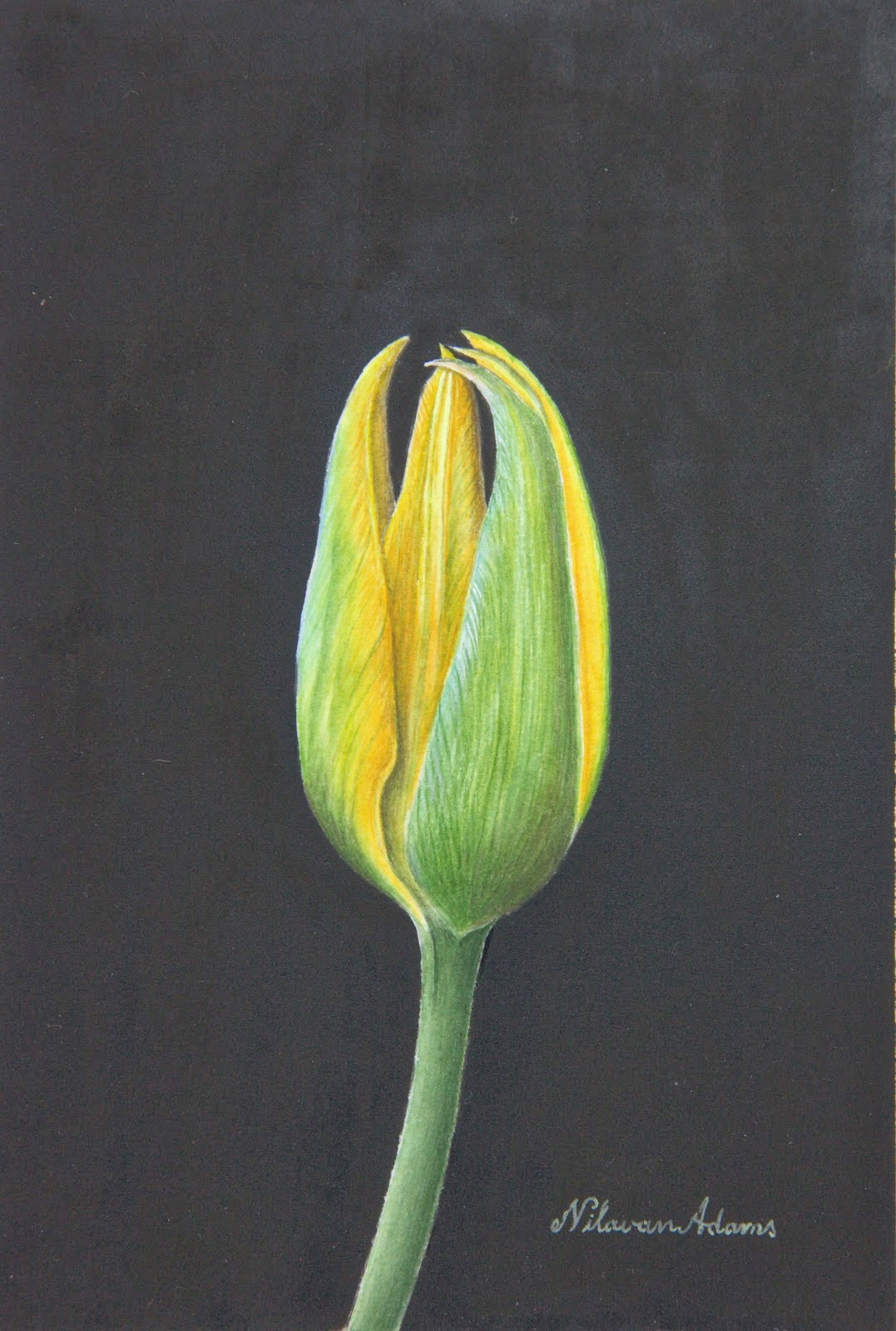 Nilavan Adams closed tulip