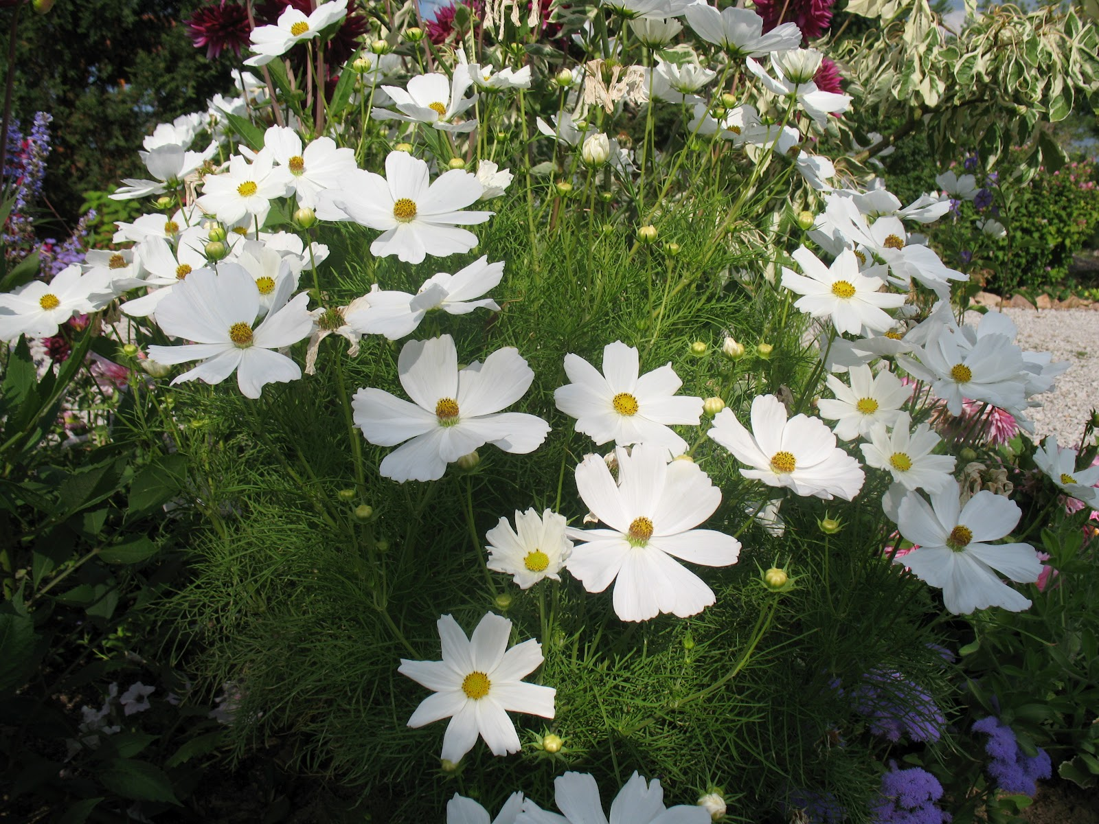 25 graines de cosmos blanc cosmos bipinnatus white x136 seeds samen semillas ebay. Black Bedroom Furniture Sets. Home Design Ideas