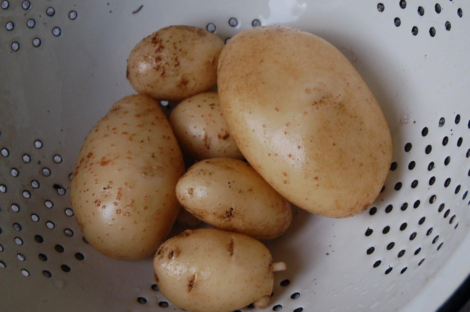 Beb sweet como sembrar patatas en casa for Como cultivar patatas