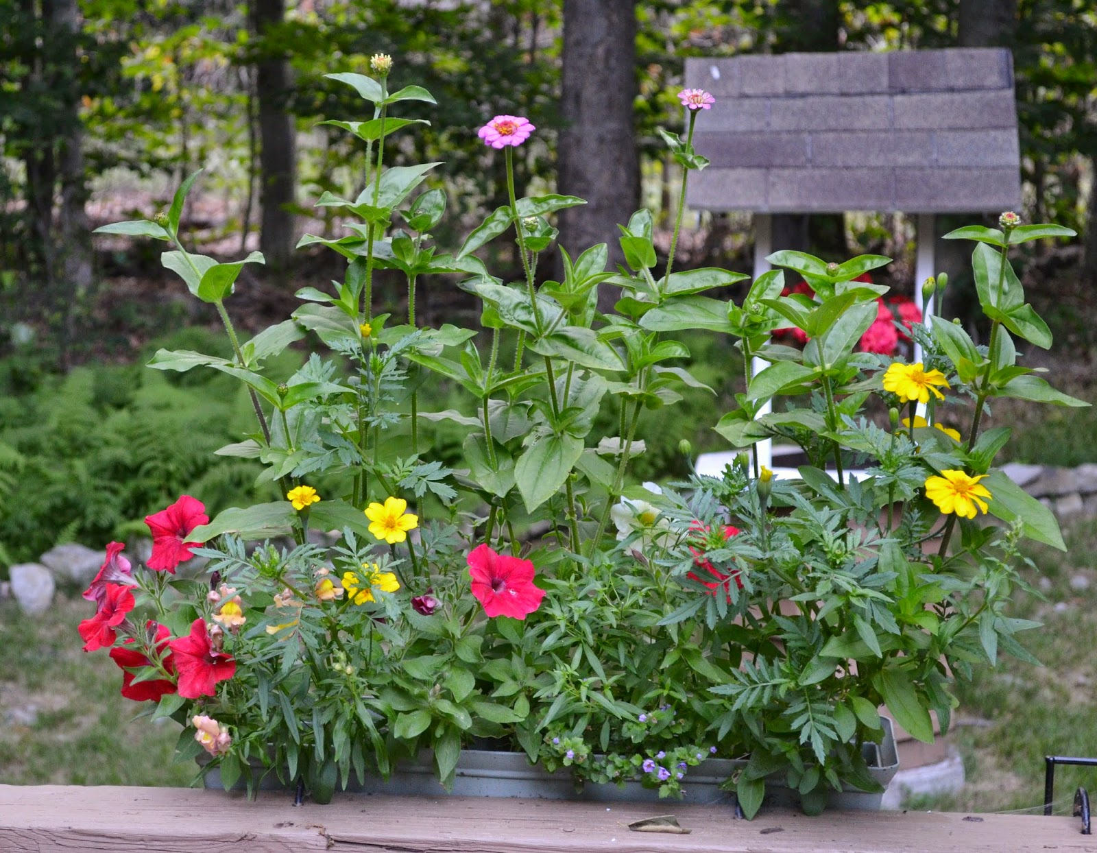 Janies pocono mountain garden summer into fall annuals in perennials may brighten many gardens in the spring and early summer but its the month of august when some annual flowers really start to put on a show izmirmasajfo