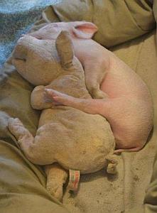 Imagenes Graciosas de Animales, Cerdo