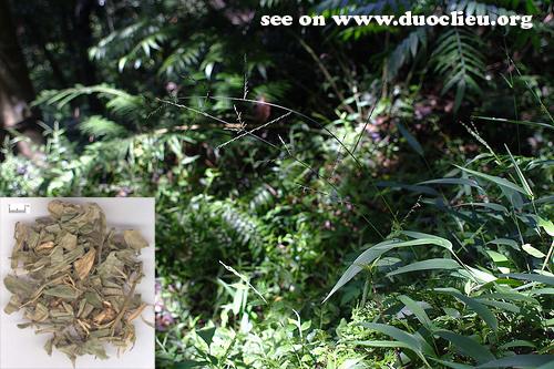 Lophatherum gracile Brongn. (Fam.  Gramineae)