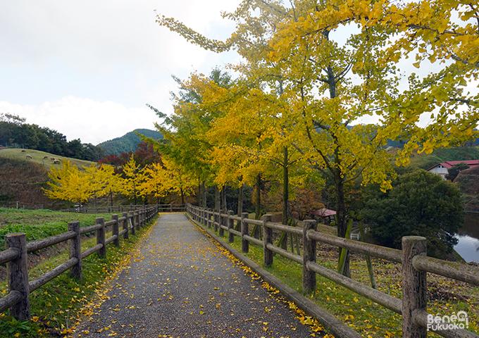 銀杏の落ち葉、もーもーらんど、福岡