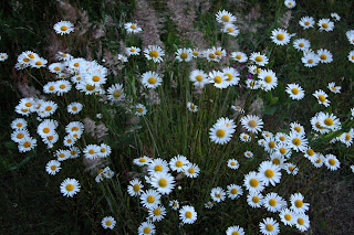 Early Summer Daisies