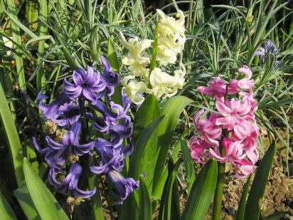 El jacinto io estetica y bienestar - Jacinto planta cuidados ...