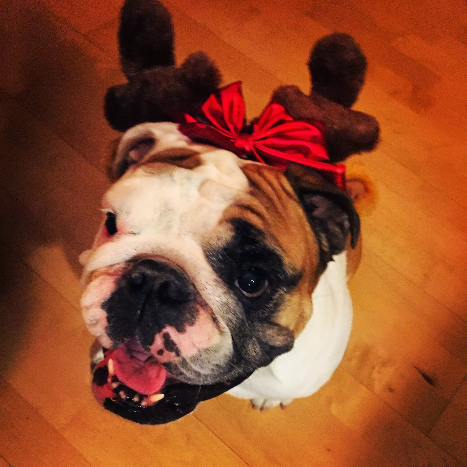 english bulldog dressed up for Christmas