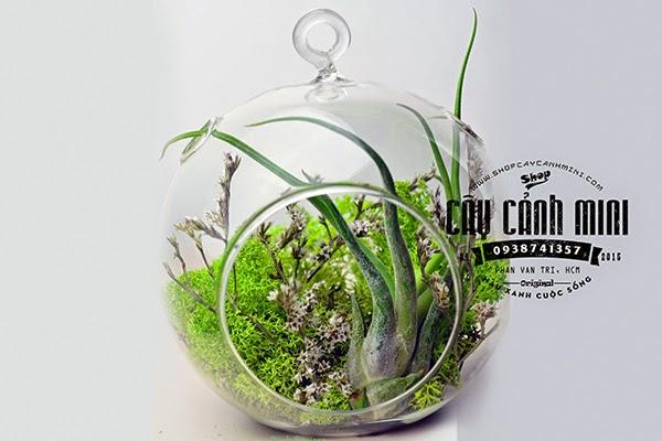 Cây không khí bình cầu nhỏ móc treo hoa nhỏ rêu xanh
