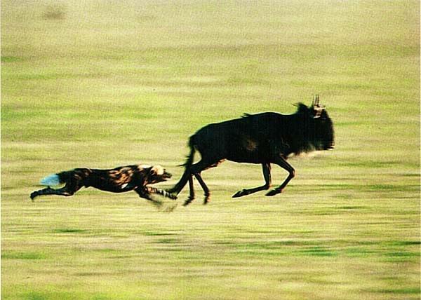 Дикая собака, преследующая антилопу. Кения