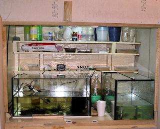 perawatan Aquarium ikan laga