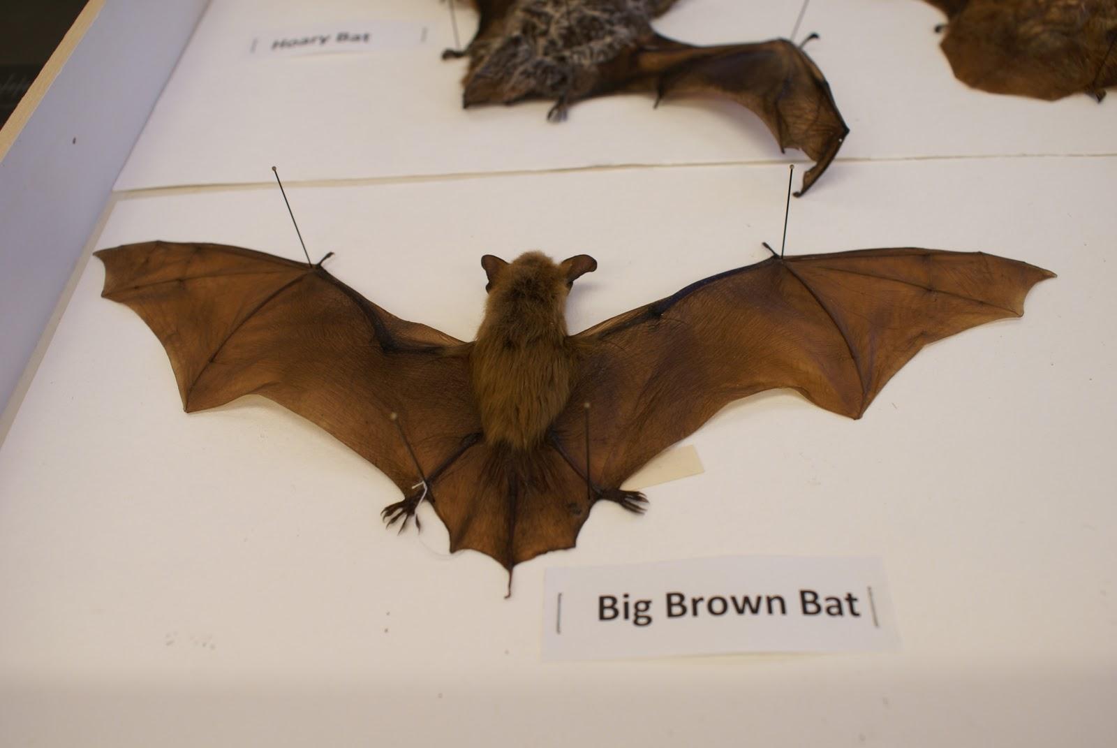 little brown bat diagram wiring diagram onlinenature gardens @ nhm l a \u0027s urban nature happy halloween bats! label parts of a bat little brown bat diagram