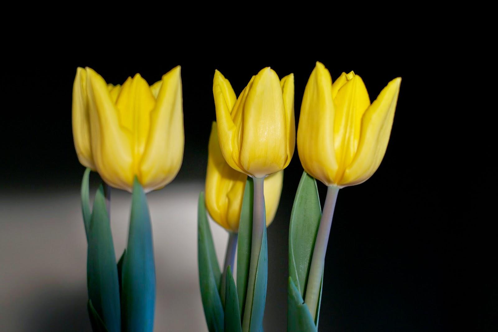 Easter Tulips in the afternoon light.