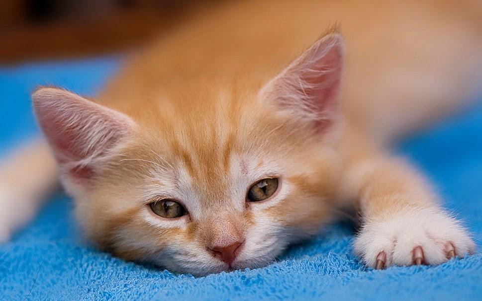 penanganan penyakit pada kucing