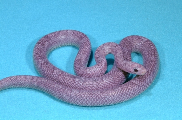 8 oddly colored creatures, amazing creatures, Purple Corn Snakes