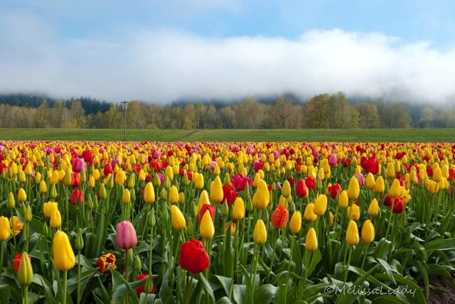 Tulip Field Sunbreak