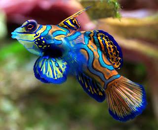 10 Jenis Ikan Hias Air Tawar Tercantik Mandarin Fish