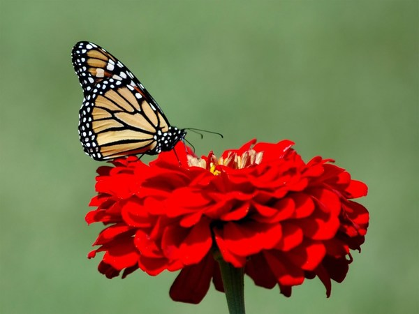Beautiful Butterfly Sitting on Red Flower Images