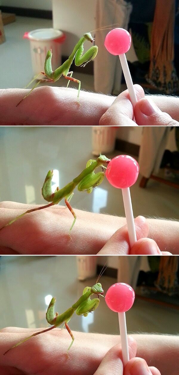 Funny animals of the week - 28 March 2014 (40 pics), praying mantis loves lollipop