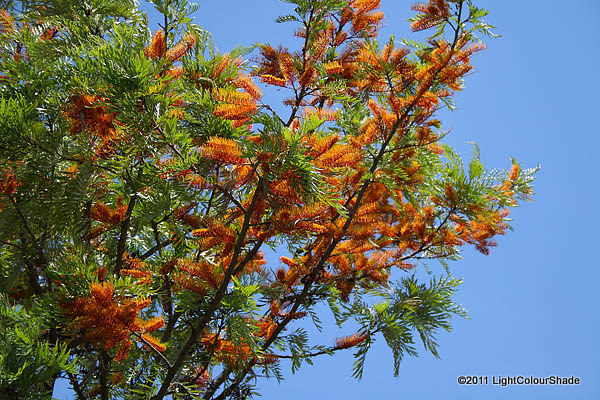 Grevillea robusta (Silky-oak) in flower