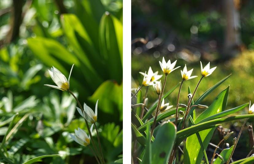 tulipan turkestanica er en af de smukkeste og mest hårdføre tulipaner