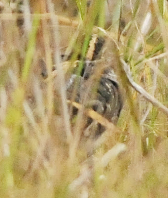Greater Painted Snipe (Rostratula benghalensis)