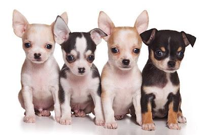Cuidados Diarios perro Chihuahua