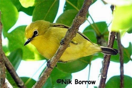 Foto Burung Pleci Terbaik