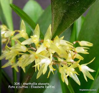 Pleurothallis obovata, Pleurothallis densiflora, Pleurothallis micrantha, Anathallis densiflora, Anathallis micrantha
