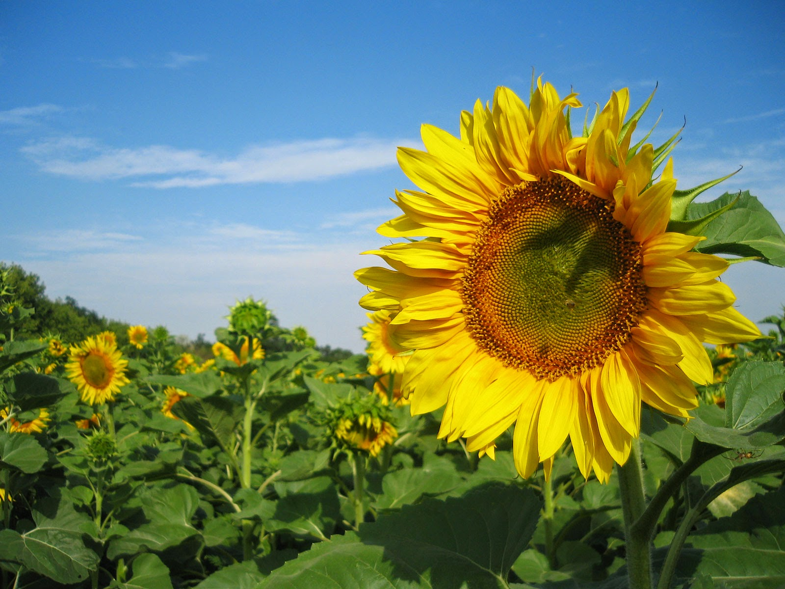 Sunflowers Nature Wallpaper