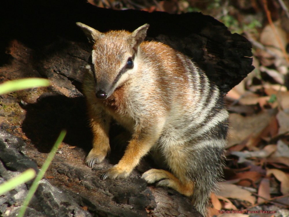 The numbat cute animal amazing facts photos animals for Endangered fish species