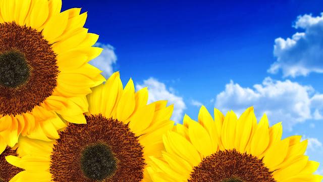 Flores de Girasoles bajo el cielo azul
