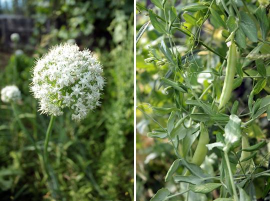 onion flower