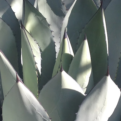 The Agave as Mutant Rose by Maja Trochimczyk 2016