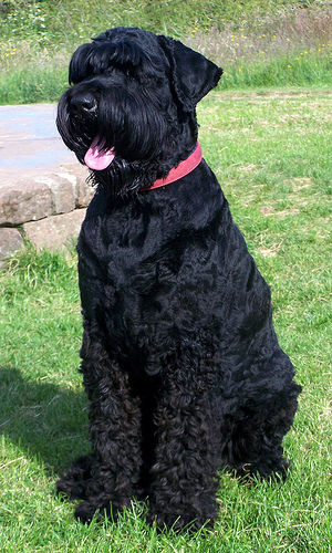Black Russian Terrier Breed Standard and Pictures ~ Bullcatdog Black Russian Terrier