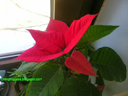 Clicca l'immagine per Curare la stella di Natale