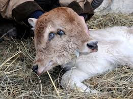 Two-Head-calf-amazing-pics-Shocking-pics-strangest-animals-pics