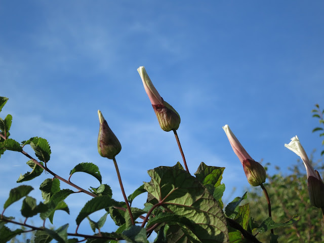 Closed convolvulus flowers against blue sky with bramble leaves.