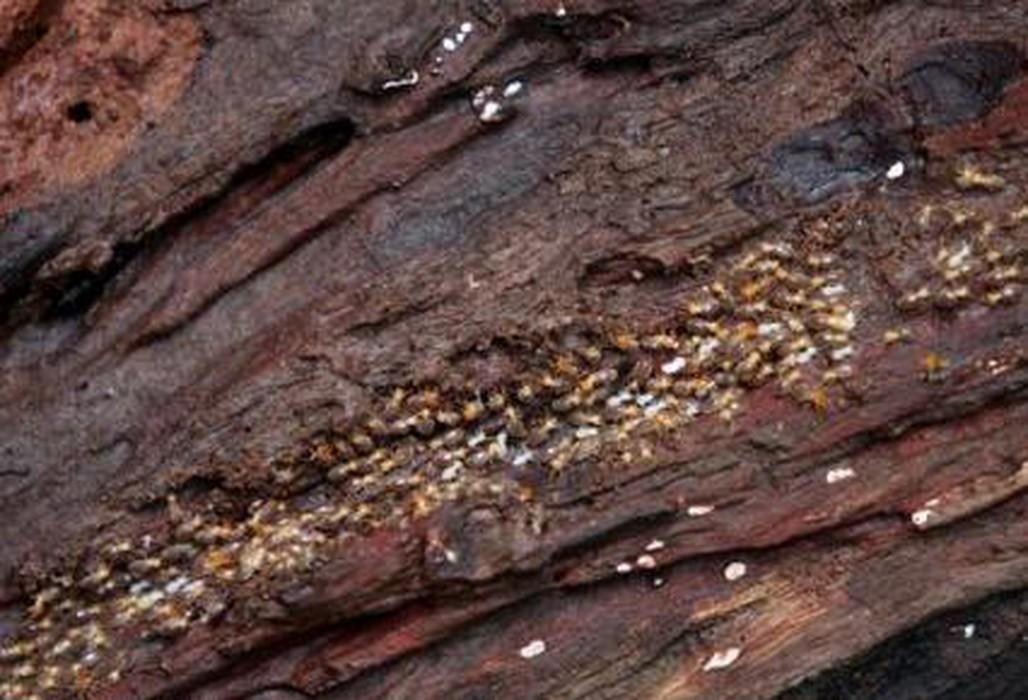 Bonsai y el ingrediente termitas - Acabar con las termitas ...
