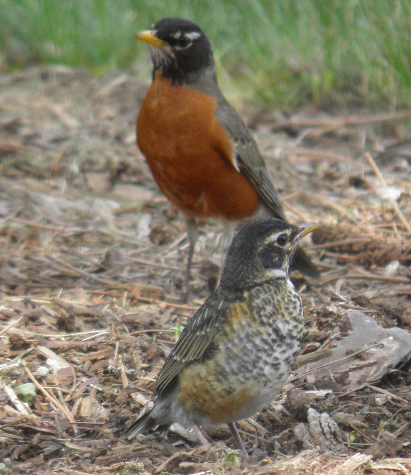 wild birds unlimited photo share feeding baby robins
