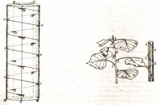 Gambar Bagan duduk daun dengan rumus 2/5