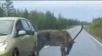Deer gets sucker punched