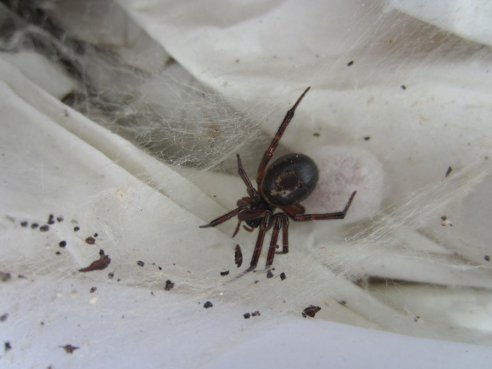 Black widow spider pictures facts