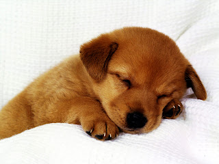 Sleeping Cute Puppy Canine HD Wallpaper