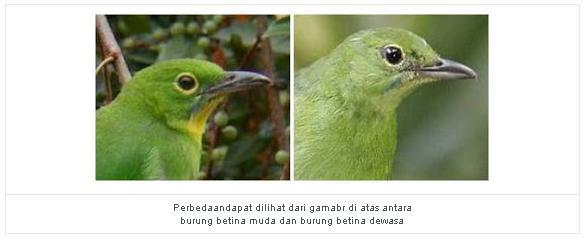 rahasia memilih dan merawat burung cucak ijo atau cucak